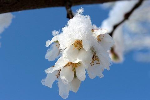 cherry-blossom-1353913_640