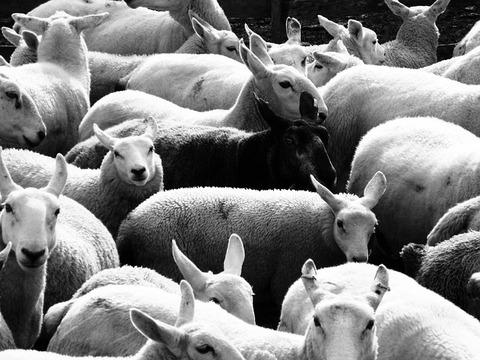 black-sheep-142727_640