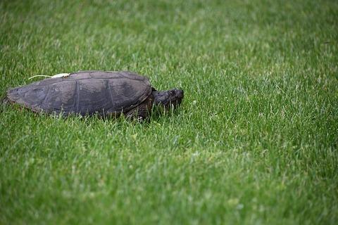 turtle-4251777_640