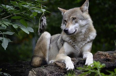 wolf-1336231_640