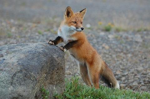 fox-935210_640