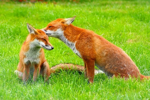 red-foxes-3757773_640