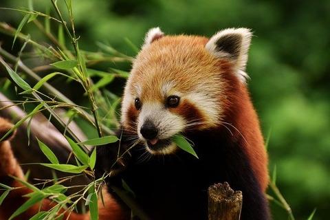 panda-3503779_640