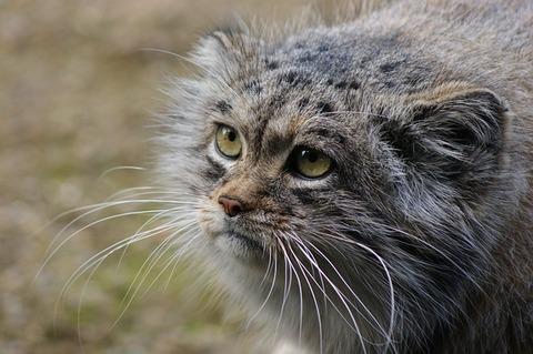 pallas-cat-3963081_640
