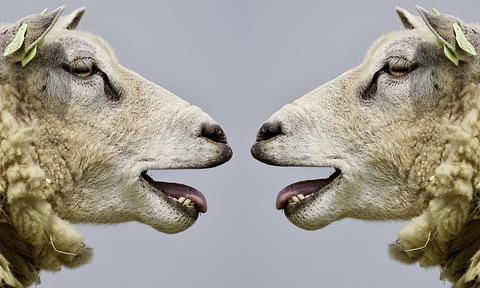sheep-2372148_640