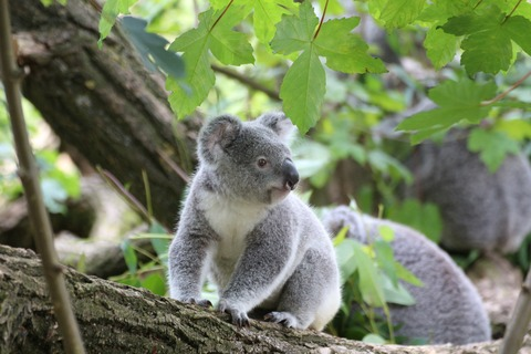 koala-bear-on-grey-wood-trunk-on-daytime-162339