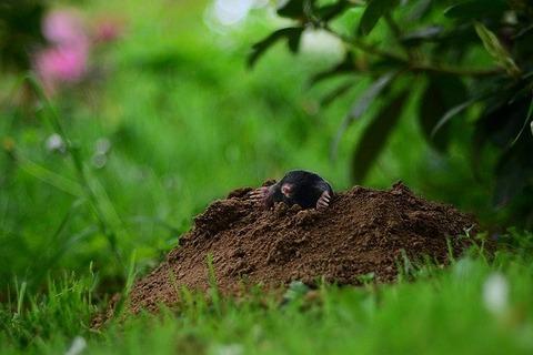 mole-5385964_640