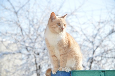 red-headed-cat-2248705_640