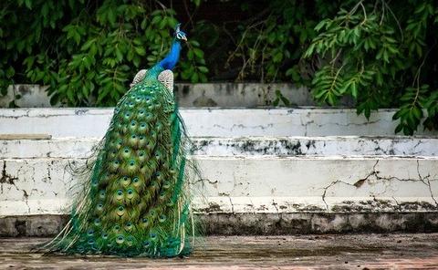 peacock-2490176_640