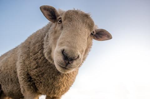 sheep-1822137_640