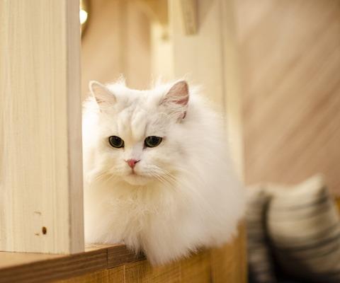 white-cat-4387832_640