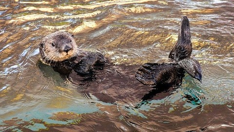sea-otter-3194453_640