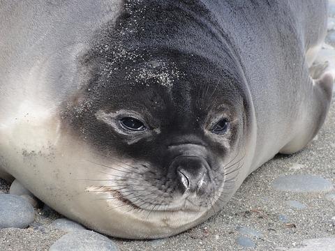 elephant-seal-3405268_640
