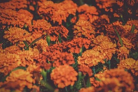 marigold-3502842_640