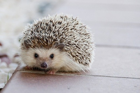 hedgehog-1215140_640