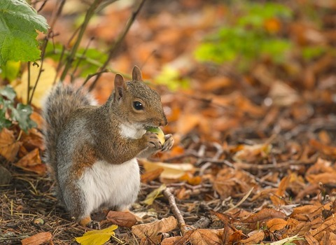 squirrel-3772585_640