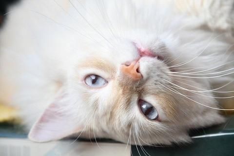 white-cat-4743349_640