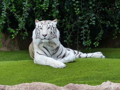 white-bengal-tiger-406999_640