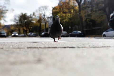 pigeon-569128_640
