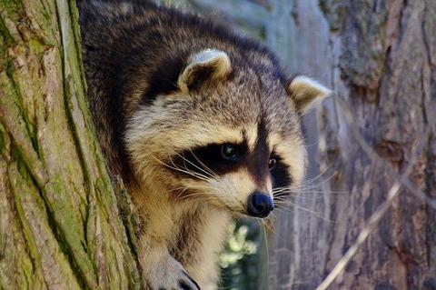 raccoon-4004766_640