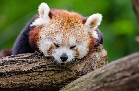 red-panda-1194504_640