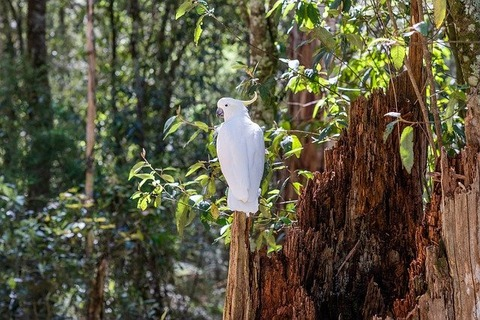 sulphur-crested-cockatoo-4573568_640