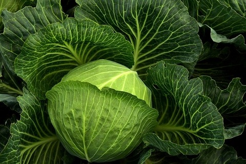 cabbage-3722498_640