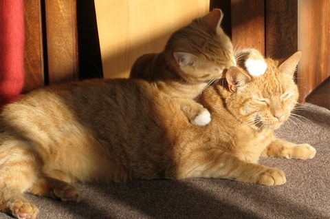 two-ginger-cats-650546_640