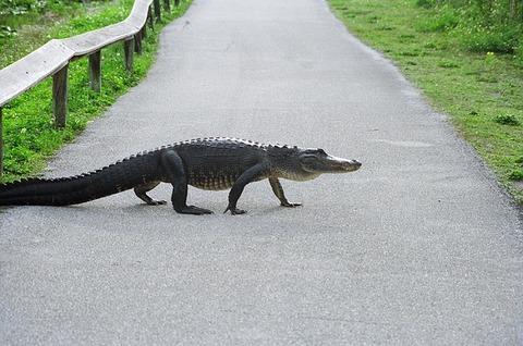 alligator-948660_640