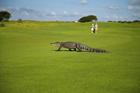 alligator-1593899_640