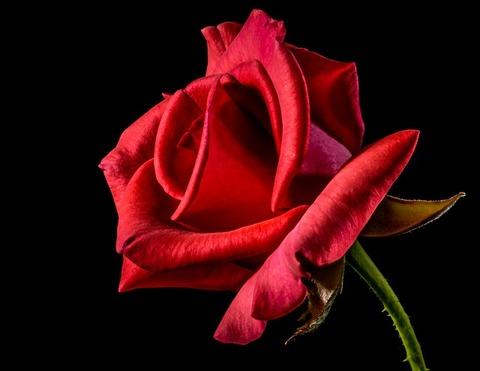 red-rose-320868_640