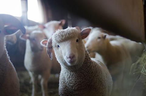 sheep-3025866_640