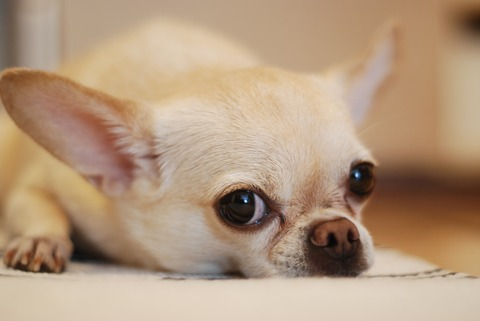 adorable-animal-canine-chihuahua-191353