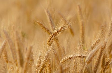 wheat-3241114_640