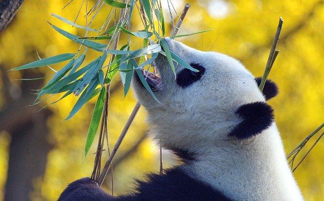 シロでもクロでもない世界でパンダは笑う 動画