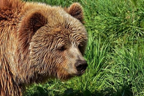 european-brown-bear-3334538_640