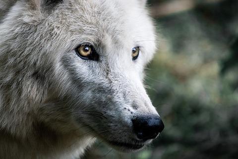 wolf-4483675_640