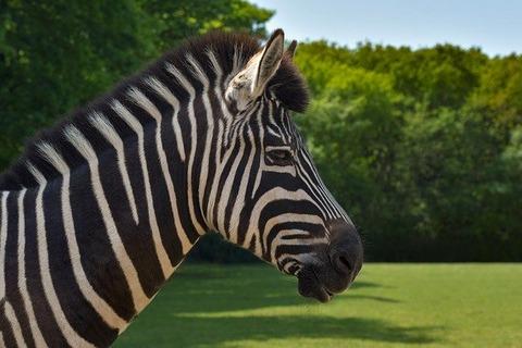 zebra-3703860_640