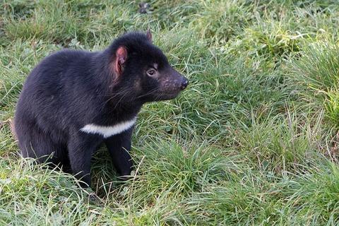 tasmanian-devil-2365434_640