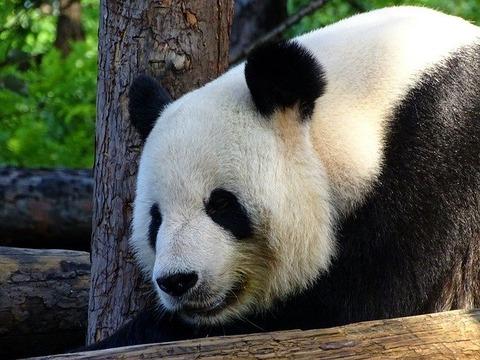 panda-3576837_640