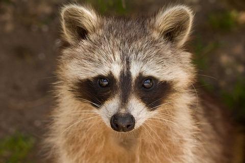 raccoon-1644538_640