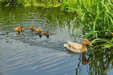 young-ducks-3519195_640