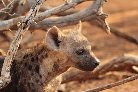 hyena-puppy-1036463_640