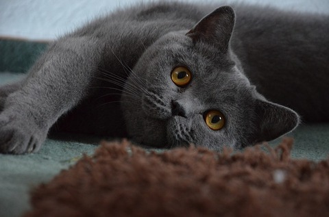 british-shorthair-1573559_640