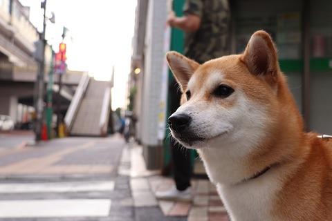 shiba-inu-3600225_640