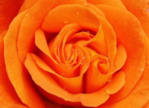 rose-1456785_640