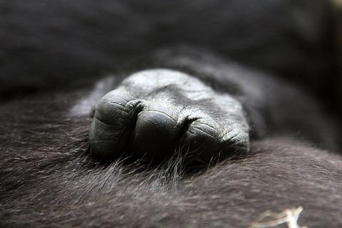 gorilla-622056_640