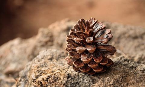 pine-cones-3198636_640