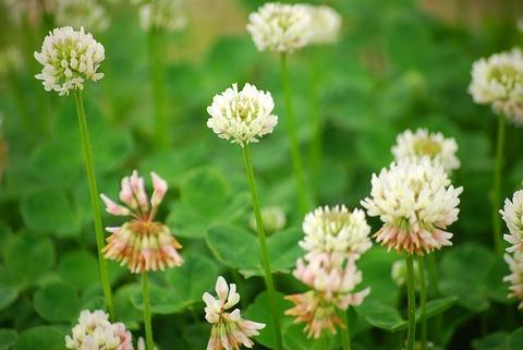 white-clover-547200_640
