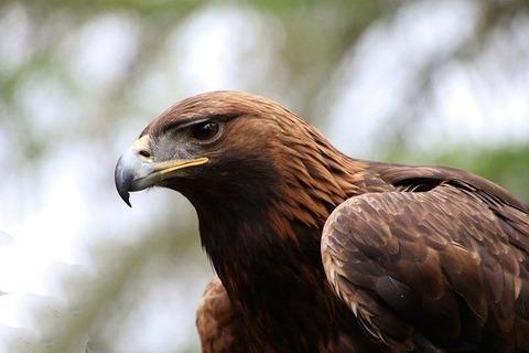 golden-eagle-2247269_640